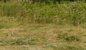 Faucon aubin - 5