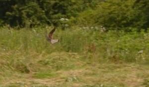 Faucon aubin - 7